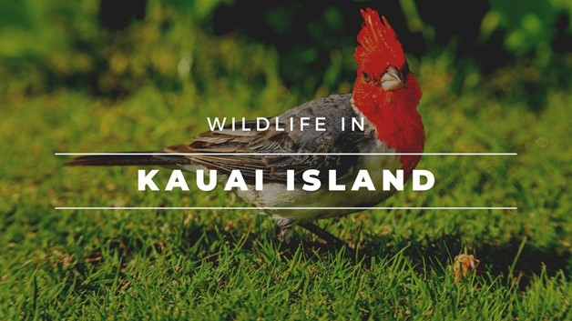 Wildlife on Kauai Island